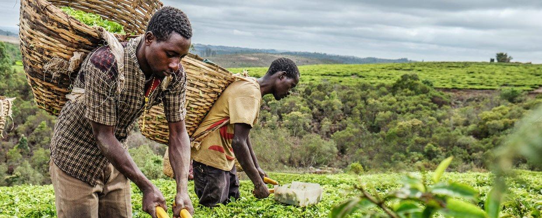 Crop picking in africa