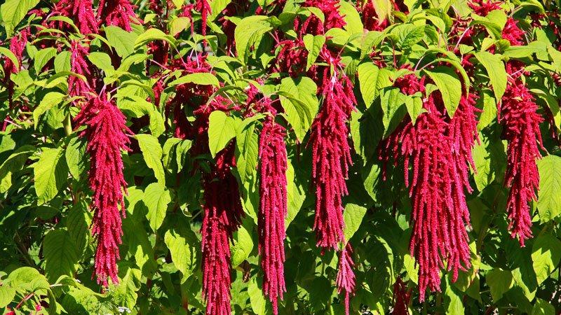 Amaranth Amaranthus caudatus flowers